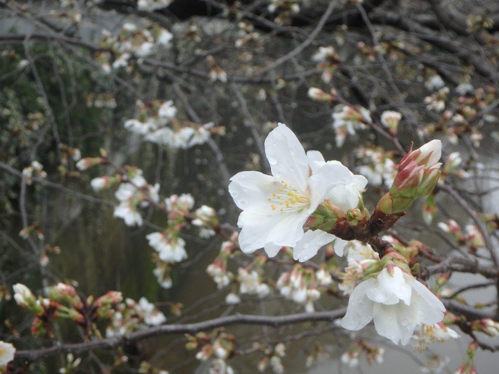 2こまつかばし開花 (2)