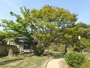 中門の近くの紅葉の木
