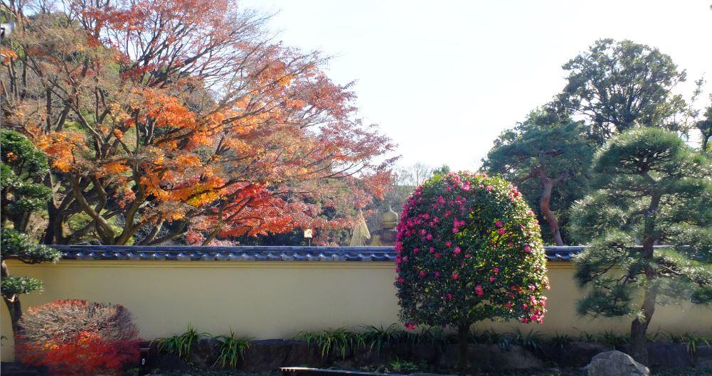玄関広場山茶花