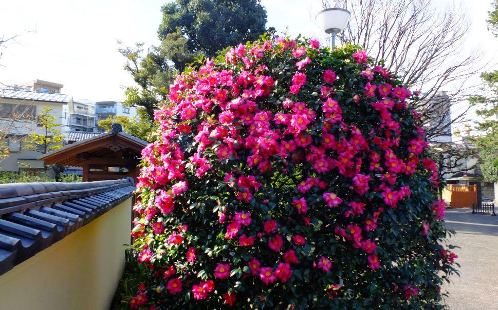 玄関前山茶花2